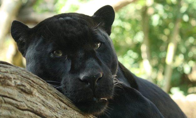Schwarzer Panther in der Region Granada gesichtet?