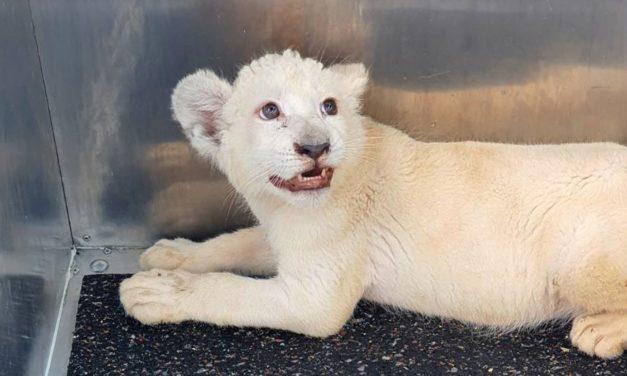 Weißes Löwenbaby kommt nach Spanien