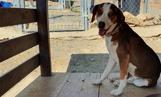 Oskar, Beagle-Mix, ca. 2 Jahre alt