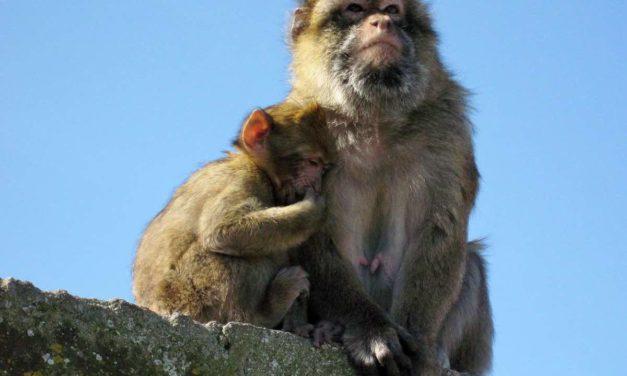 Gibraltar will seine Affen vor Corona schützen