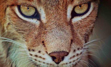 5 Luchse in der Sierra Morena ausgewildert, um die Art zu erhalten