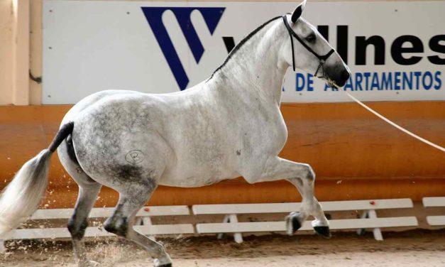 Andalusier: eine Pferderasse mit Geschichte